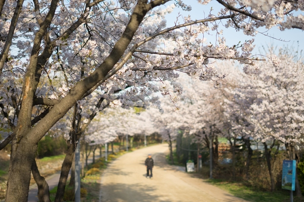 photo of cherry blossom path