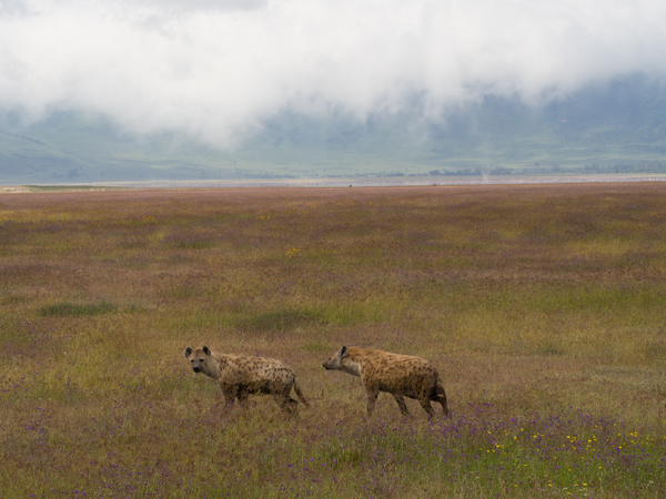 photo of hyenas